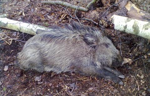 Afrikinis kiaulių maras pasiekė Jurbarką