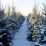 Jeigu gyventojas parduoda eglutes išretinęs savo mišką, jo gautos pajamos nėra augalininkystės veiklos pajamos