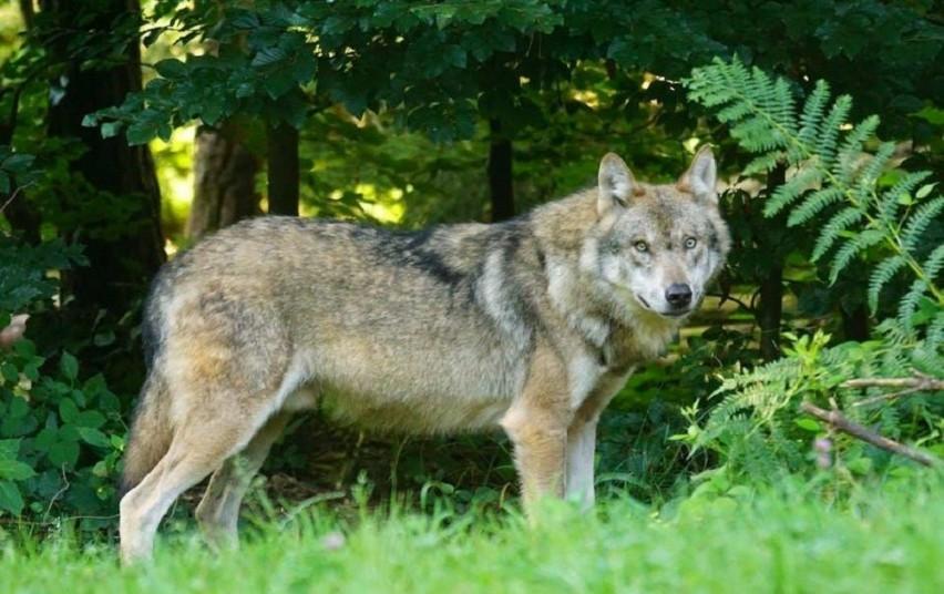 Patvirtintas vilkų sumedžiojimo limitas